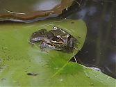 Frosch 3